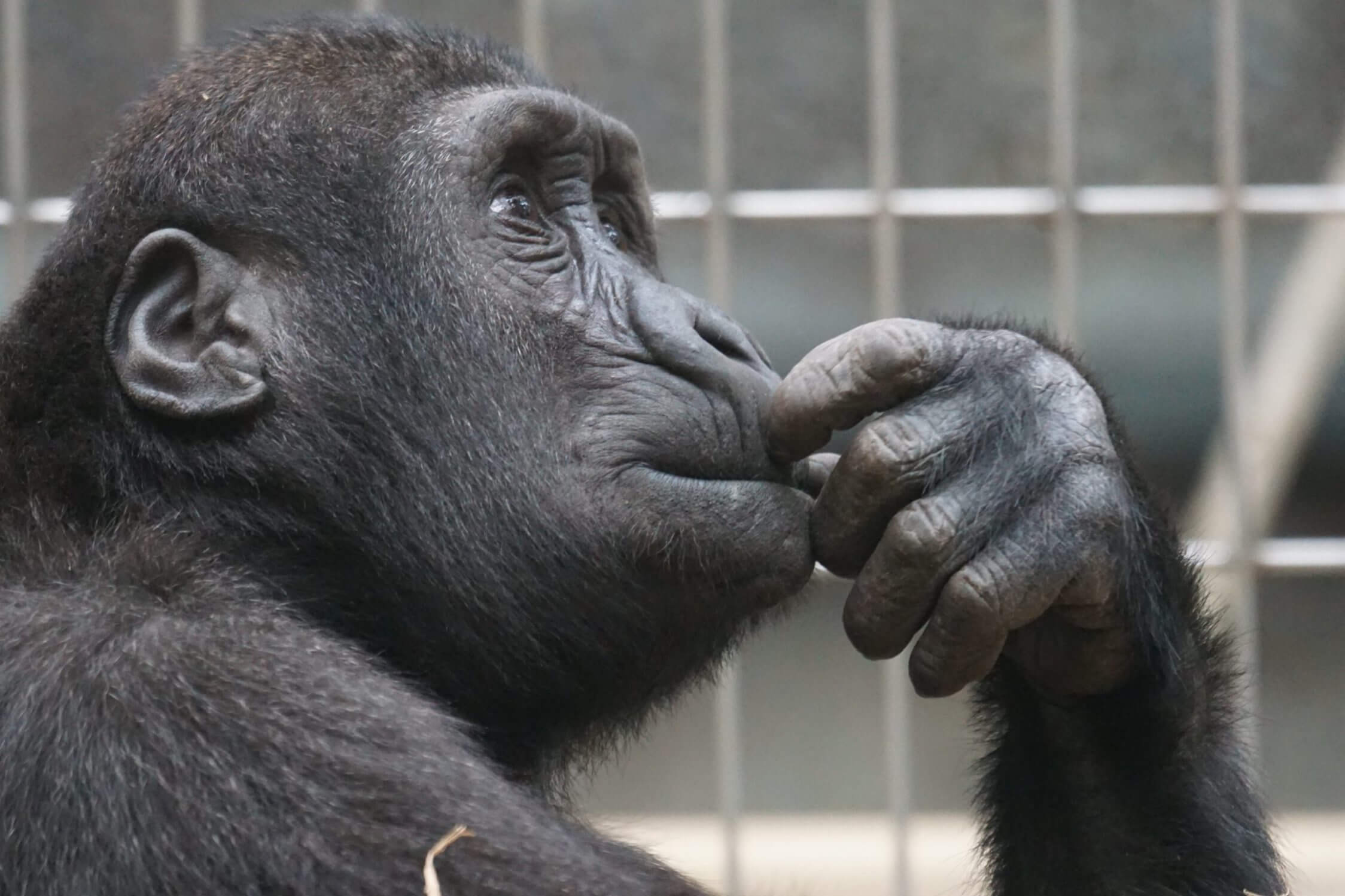 primate ape thinking mimic - Blog